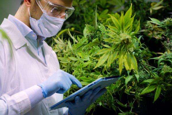 Cannabisblüte Ausgangsstoff